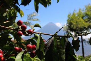 グァテマラ アンティグア地区 ラ・トラベシア農園 ブルボン種100% 200g〈シティロースト/中深煎り〉