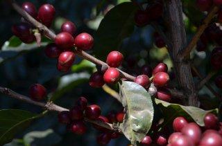 グァテマラ アンティグア地区 ラ・トラベシア農園 ブルボン種100% 200g〈フレンチロースト/深煎り〉