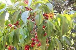 グァテマラ アンティグア地区 ラ・トラベシア農園 ブルボン種100% 200g〈イタリアンロースト/極深煎り〉