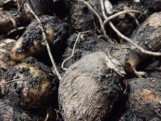 中川吉右衛門|異次元のサトイモ(土垂・自然栽培)