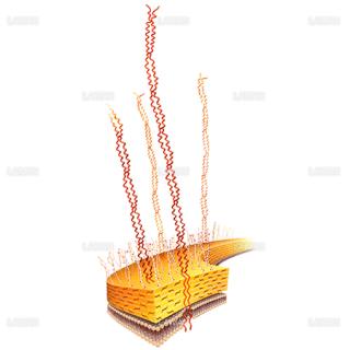 らせん構造(レンサ球菌Mタンパク質)(Sサイズ)