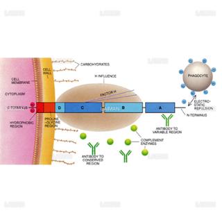 免疫系の阻害(Mタンパク質)(Sサイズ)