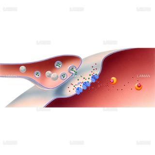一酸化窒素のシナプス内での働き(Sサイズ)