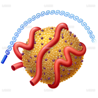リポタンパク質(a)の構造(Sサイズ)