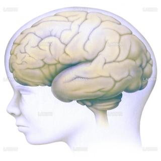 脳の発生4(Sサイズ)