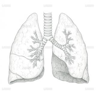 肺、気管支(Sサイズ)