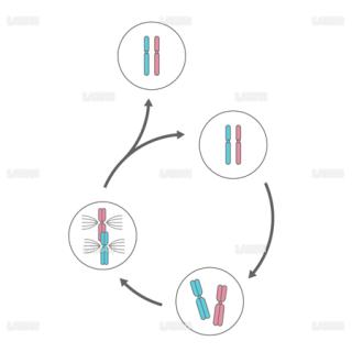 体細胞分裂(Sサイズ)