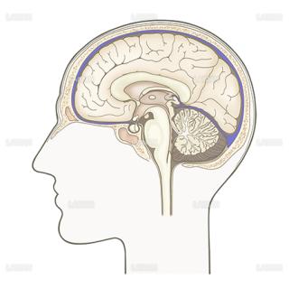 脳(正中断面)