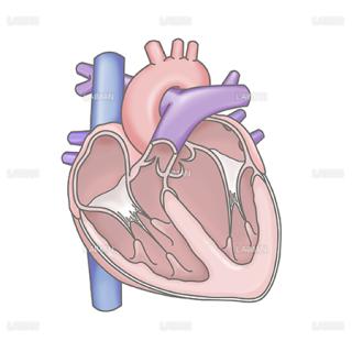 心臓(断面図)