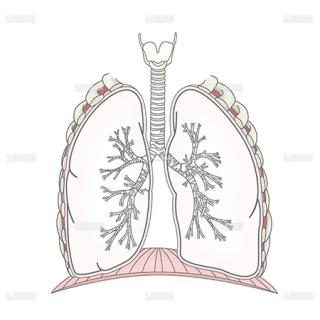 気管支と肺