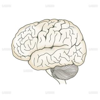 脳(左側面)