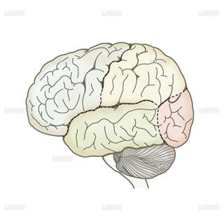 脳区分(左側面)