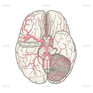 脳血管(下面)