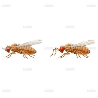 ショウジョウバエの変異1(Mサイズ)