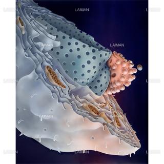 細胞の構造(Mサイズ)