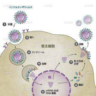インフルエンザウィルス(生活環・文字あり)(Mサイズ)
