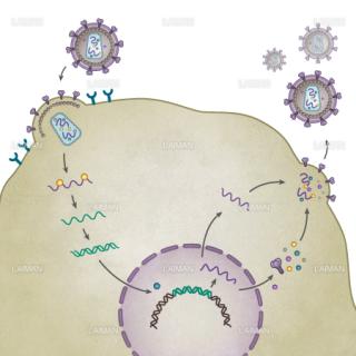HIVウィルス(生活環・文字なし)(Sサイズ)