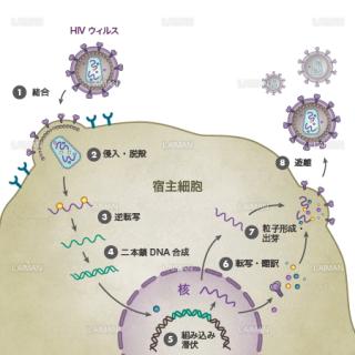 HIVウィルス(生活環・文字あり)(Sサイズ)