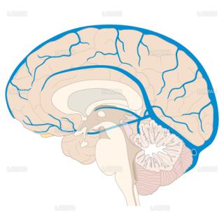 脳静脈の走行(内側面)(Mサイズ)