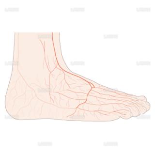 足背の動脈(Mサイズ)