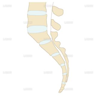 仙骨の形態の分類(直線型)(Mサイズ)