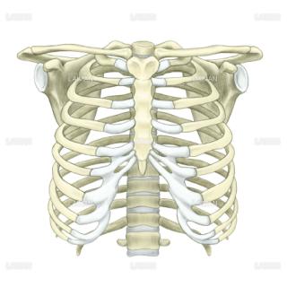 胸郭、上肢帯(フルカラー)(Sサイズ)