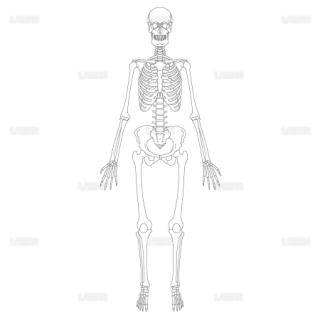 全身骨格(前面) (Mサイズ)