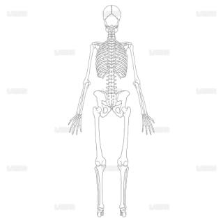 全身骨格(後面) (Mサイズ)