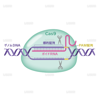 CRISPR/Cas9 (Mサイズ)