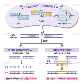 ゲノム編集 (Mサイズ)