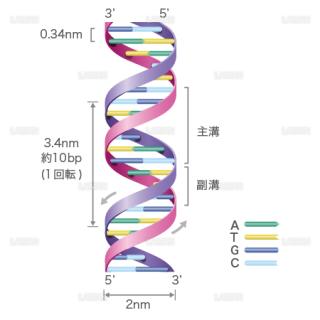 DNAの構造(文字入り) (Mサイズ)