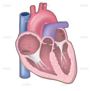 心臓断面図 (Sサイズ)