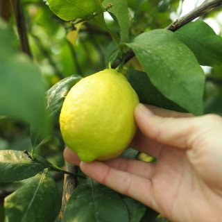 2020年新物「青いレモンの島」の減農薬レモン 送料込