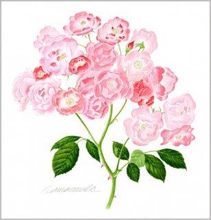 版画 「一枝のバラの花房」