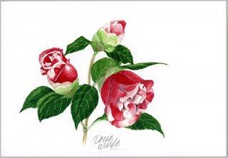 ポストカード「赤い八重の椿の花」
