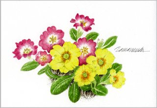 ポストカード「春色のプリムラ」