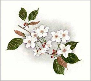 版画 「サクラの花枝」