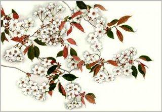 版画 「サクラ花咲く」