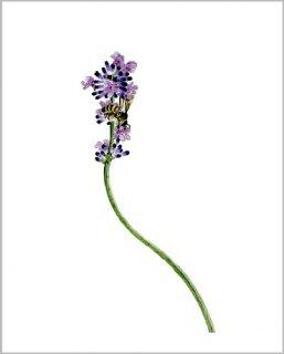 版画 「ラベンダーの花と蜜蜂」