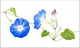 版画 「青いアサガオの花」