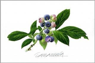 ポストカード「ガーデンのブルーベリー」