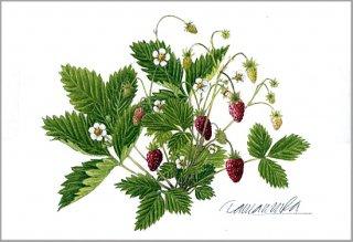 ポストカード「森のイチゴ」