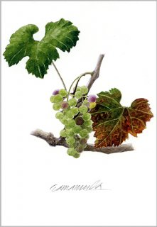 ポストカード「秋を迎えるブドウ」