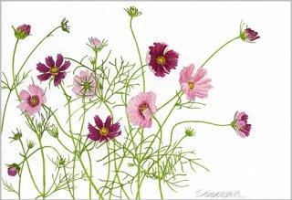 ポストカード「咲きはじめたコスモス」