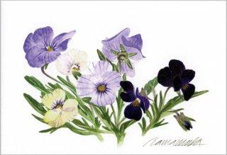 ポストカード「春のスミレたち」