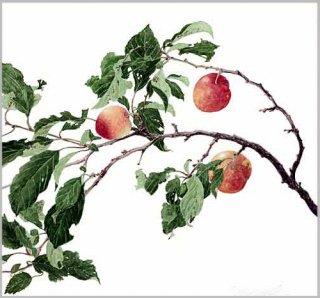 版画 「スモモの枝」