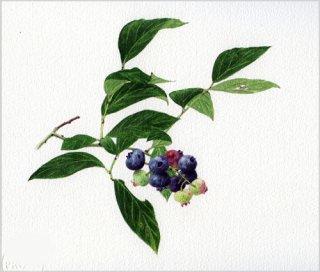 版画 「ブルーベリーの小枝」