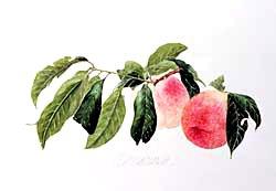 版画 「収穫された二つの桃」