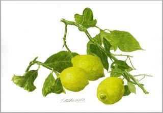 ポストカード「枝つきレモン」