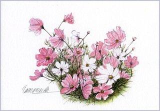 ポストカード「秋桜」